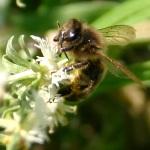 photos gratuites Photos libres de droit d'abeilles (Apis). Photos gratuites de guèpes, bourdons...