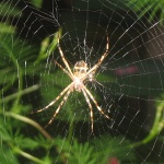 free photos Royalty free photos of spiders (Araneae). Free photos of arachnids.