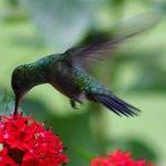 photos gratuites Photos gratuites de  colibris (famille des trochilidae)... Photos d'oiseaux-mouches...