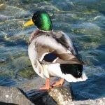 photos gratuites Photos gratuites de canards.. Photos de canard, photos de poules d'eau...