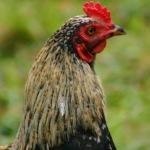 photos gratuites Photos gratuites de coq, poules, oies..