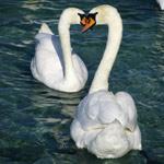 fotos de graça Fotos gratuitas de cisnes. Fotos de graça de patos e cisnes..