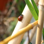 free photos Royalty free photos of ladybugs (beetles, Coccinellidae). Free photos of insects.