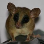 photos gratuites Photos gratuites de jupati, un petit marsupial de la familles des opossums vivant en Amérique du Sud...