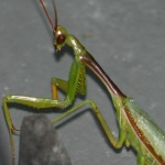 free photos Royalty free photos of praying mantis (Mantis religiosa). Free photos of insects.