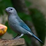 fotos de graça Fotos gratuitas de Sanhaço da Amazônia (Thraupis episcopus). Fotos grátis de macho e femia Saí-azul e outres aves e passarinhos tropicais..