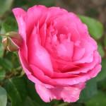 fotos de graça Fotografias grátis de rosas miniaturas, rosas bourbon. Photos gratuitas de rosas, de jardim botânico, flores, pétalas, plantas...