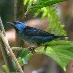 fotos de graça Fotos gratuitas de Saí-azul ou saí-bicudo (Dacnis cayana). Fotos grátis de macho e femia Saí-azul e outres aves e passarinhos tropicais..