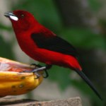 fotos de graça Fotos gratuitas de tiê-sangue, ou sangue-de-boi (Ramphocelus bresilius). Fotos grátis de tiê-sangue e outres aves e passarinhos tropicais..