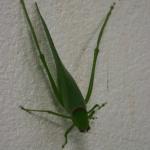 photos gratuites Photos libres de droit de sauterelles (insectes orthoptères). Photos gratuites de grillons, criquets...