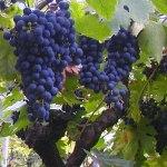 fotos de graça Fotografias grátis de uva e vinha. Photos gratuitas de vinhas, uvas, vinho, cultura de uva...