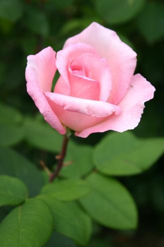 Violina - Tantau, 1997, Roses hybrides de thé
