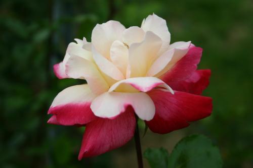 Circus Knie - Huber, 1975, Roses hybrides de thé