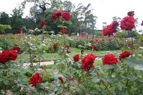 Black Magic - Tantau, 1995, Roses hybrides de thé