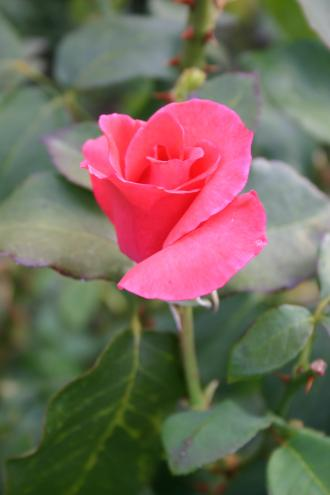 Carlita - Kaameraau, 1972, Roses hybrides de thé
