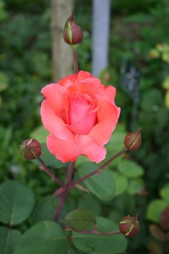 Merci - Warriner, 1974, Roses floribunda