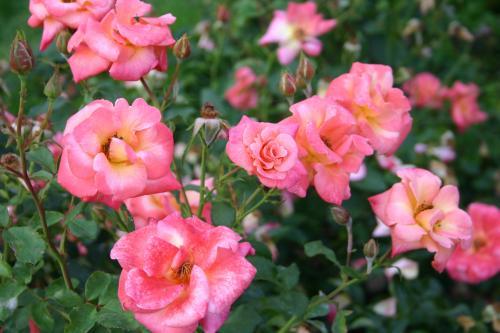 Garden City -  Harkness, 1979, Roses floribunda