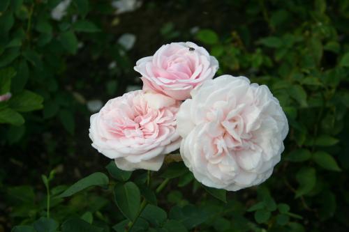 Souvenir de la Malmaison - Béluze, 1843 (Bourbon), Roses (autres)
