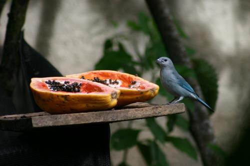 Sanhaço-da-Amazônia