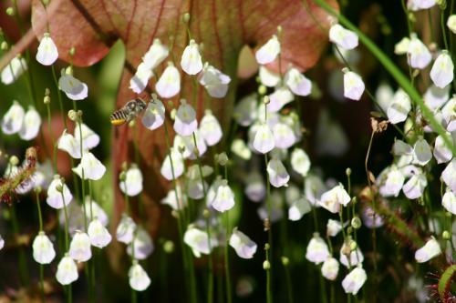 Utricularia livida, Utriculaires